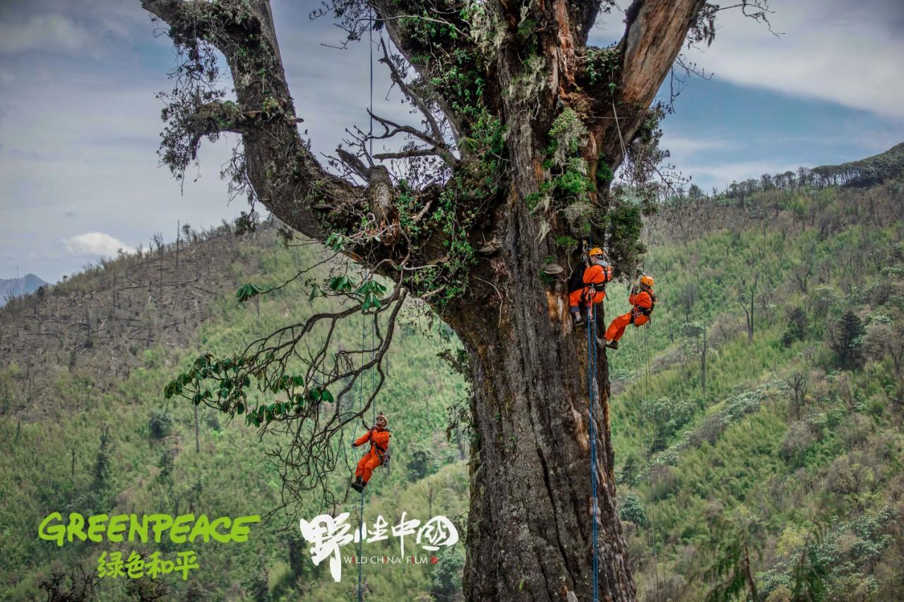 在鲜有人知晓的另一个大理,我们寻找原始森林的天然丰碑