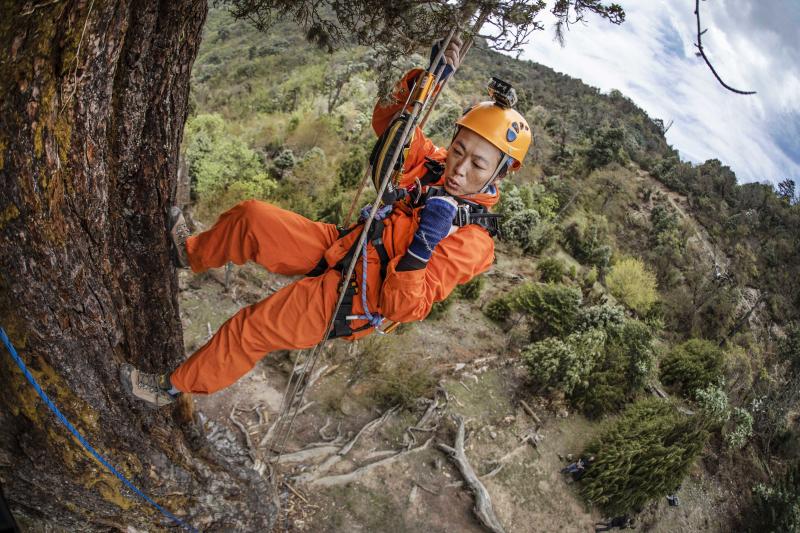 世界上最古老最粗壮的云南铁杉首张等身照在大理亮相